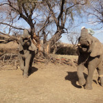 Game Drive and Elephant Interaction at Askari Game Lodge