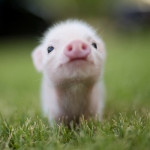 Omg, I want a pet piglet